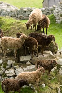 St Kilda Soay sheep, showing off both their variety of colour and horn morphs, and their agility and athleticism. Photo by Arpat Ozgul